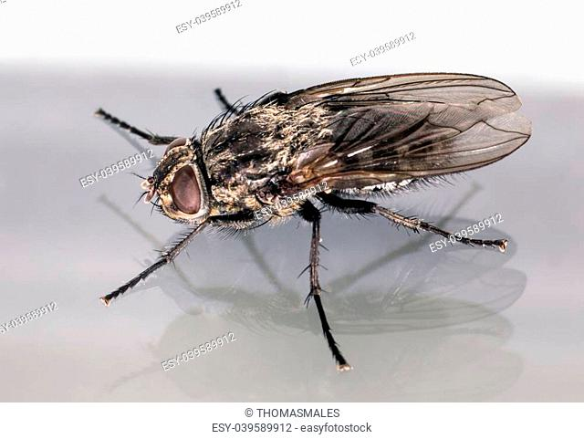House fly larvae Stock Photos and Images   age fotostock