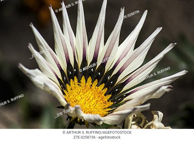 Telephoto of a Gazania (Asteraceae) flower. Loreto, UNESCO World Heritage Site. Baja California Sur, Mexico