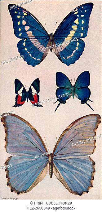 'Some of Rio's Butterflies', 1914. Artist: Patten Wilson