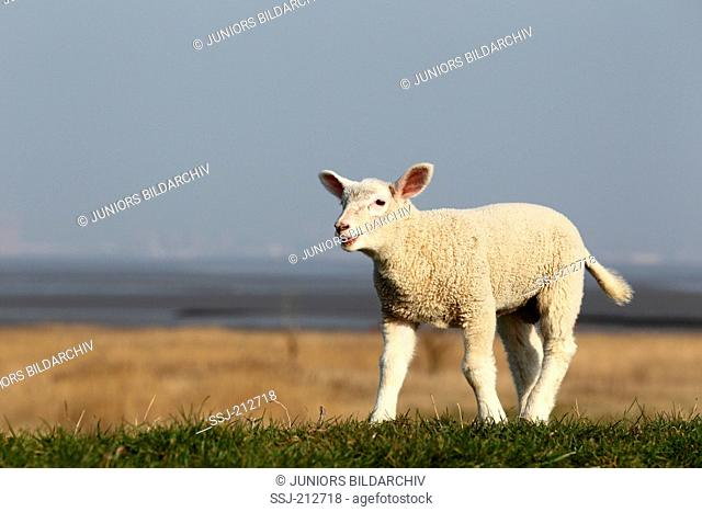 Domestic Sheep. Lamb walking on a dyke while bleating. Germany