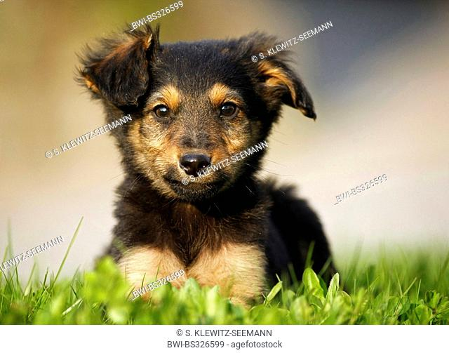 mixed breed dog (Canis lupus f. familiaris), whelpe lying in a meadow, mix breed dog of Old German Sheepdog and dachshund, Germany