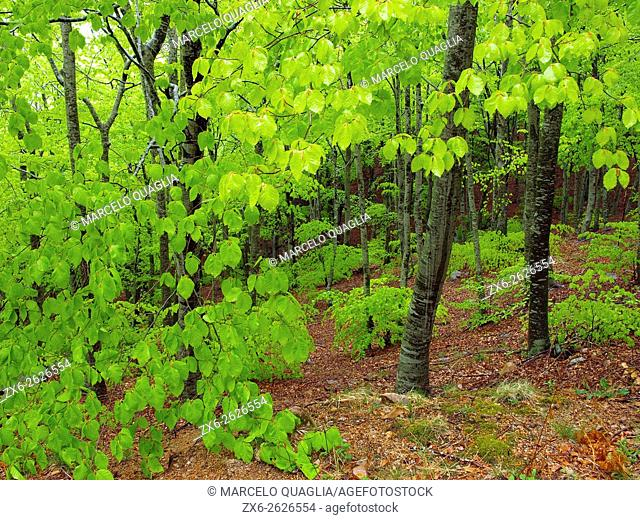 Rainy afternoon at beech forest (Fagus sylvatica). Springtime at Montseny Natural Park. Barcelona province, Catalonia, Spain