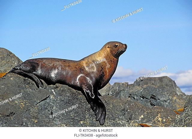 Steller Sea Lion  Pacific Coast  British Columbia,Alaska  Eumetopias jubatus