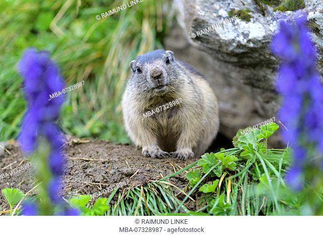 Alpine Marmot, Marmota marmota, young with Tauern Monkshood, Hohe Tauern National park, Austria