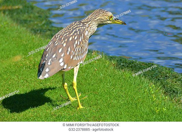 Black crowned night heron -juvenile- (Nycticorax nycticorax)
