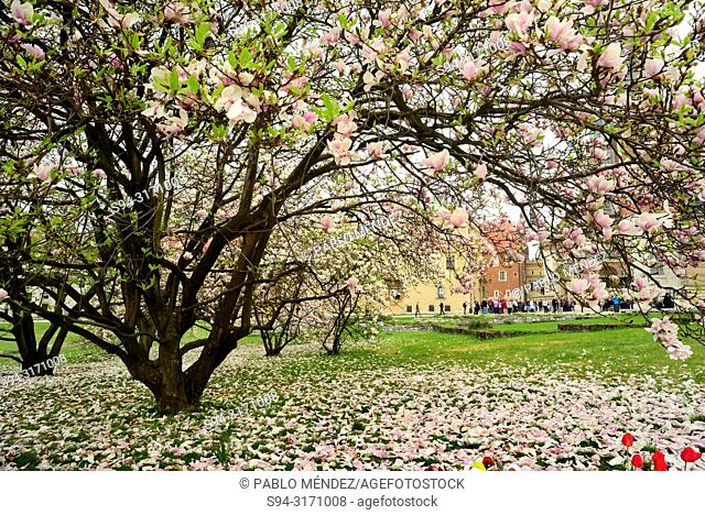 Wawel: Flowers of a tree (Prunus spp.), Krakow, Poland