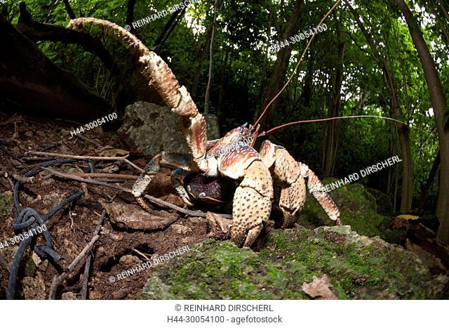 Robber Crab, Birgus latro, Christmas Island, Australia