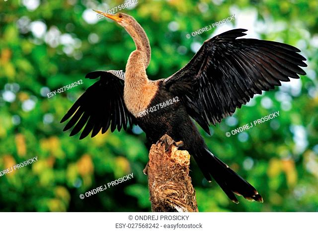 Water bird from Costa Rica. Animal in the water. Anhinga