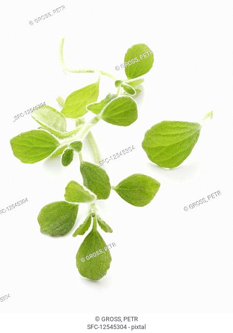 Oregano from Puerto Rico
