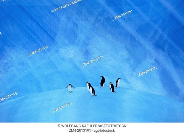 ANTARCTICA, CHINSTRAP PENGUINS ON BLUE ICEBERG NEAR ELEPHANT ISLAND