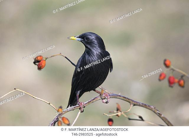 Black starling (Sturnus unicolor), photographed in the Tietar Valley, Toledo