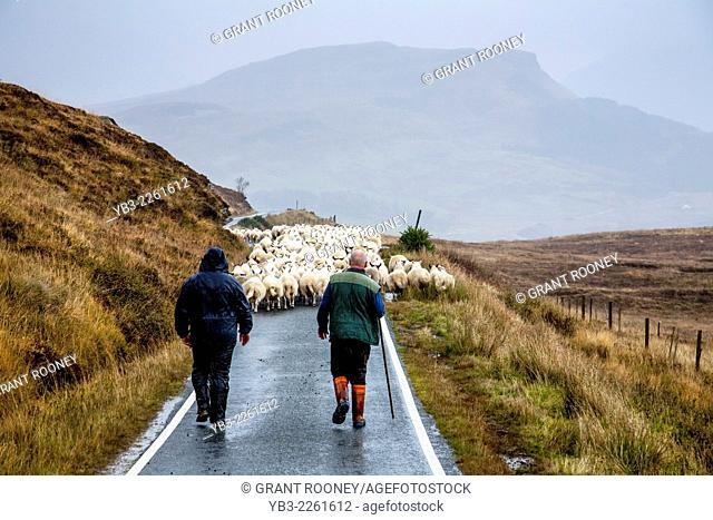 Sheep Farmer Moving His Sheep Along a Single Track Road, Elgol, Isle of Skye, Scotland