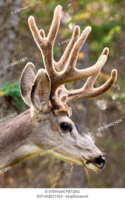 Profile of mule deer buck with velvet antler