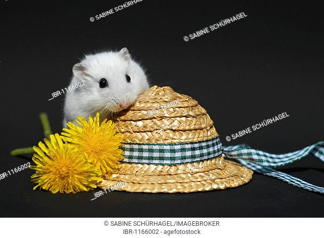 50bf72f854c Winter White Russian Dwarf Hamster (Phodopus sungorus) on a straw hat