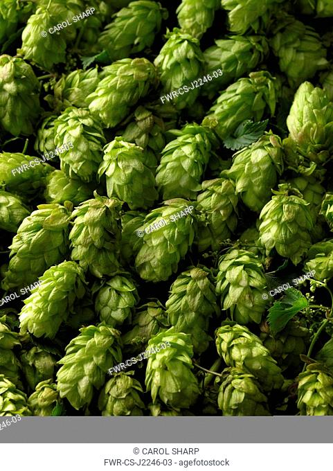 Hop, Humulus lupulus, A mass of freshley picked green hop flowers filling the frame