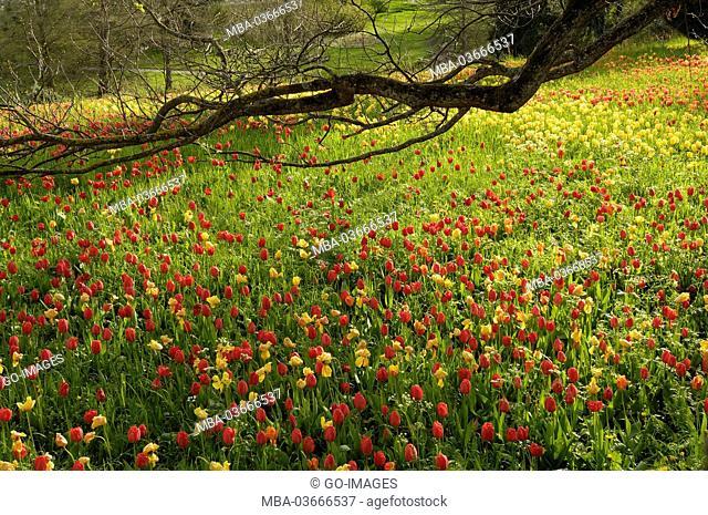 Tulip meadow, island Mainau