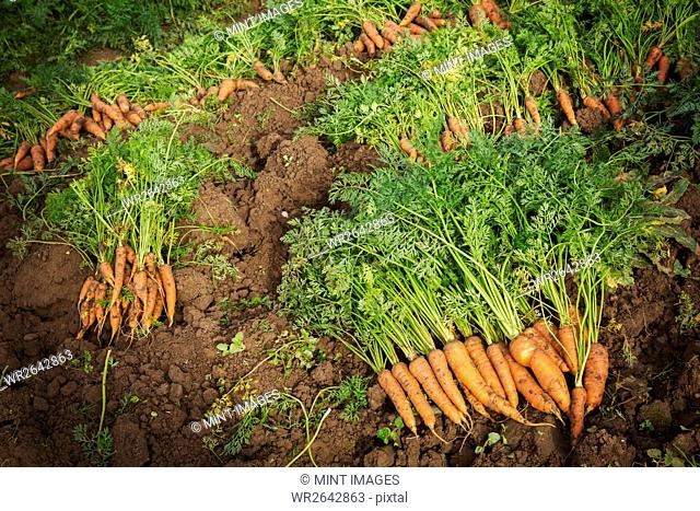 Rows of freshly pulled up carrots with green tops cleaned and laid on the soil