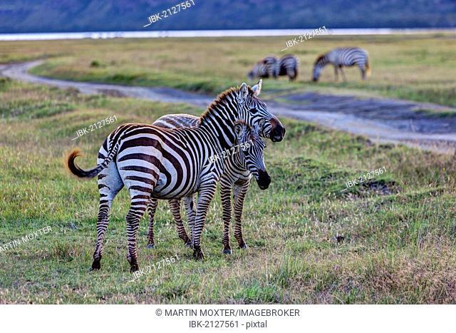 Two playful zebras (Equus quagga boehmi), Lake Nakuru National Park, Kenya, East Africa, Africa, PublicGround