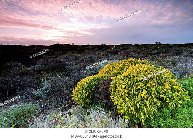 Pink sky at sunset and yellow flowers frame the lighthouse Cabo De Sao Vicente Sagres Algarve Portugal Europe