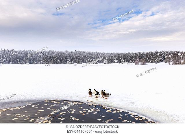 Ducks are near Winter frozen lake with pine forest at a cloudy dull day
