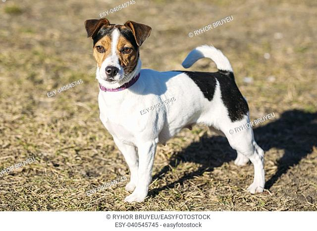 Young Parson Russell Terrier Dog Outdoor. Hunting dog