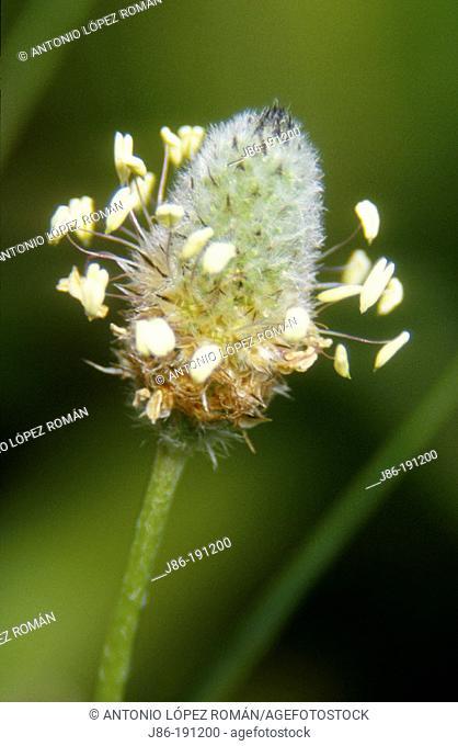 Plantago lanceolata. Fam. Plantaginaceae