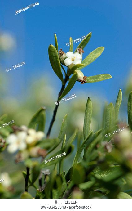spurge flax (Daphne gnidioides), blooming, Greece, Crete