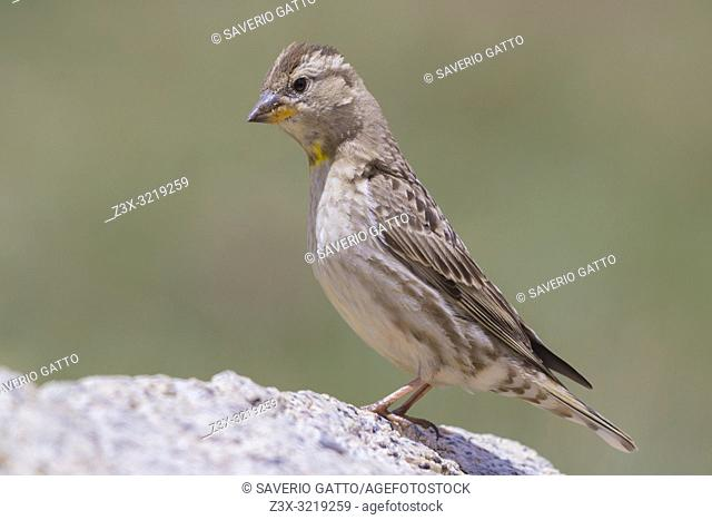 Rock Sparrow (Petronia petronia barbara), side view of an adult standing on a stone