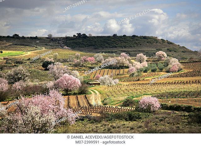 Rioja wine region, blossom almond trees, San Asensio, La Rioja, Spain