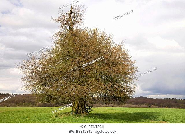 apple tree (Malus domestica), single old apple tree in a meadow in spring, Germany, Hesse, Beberbeck