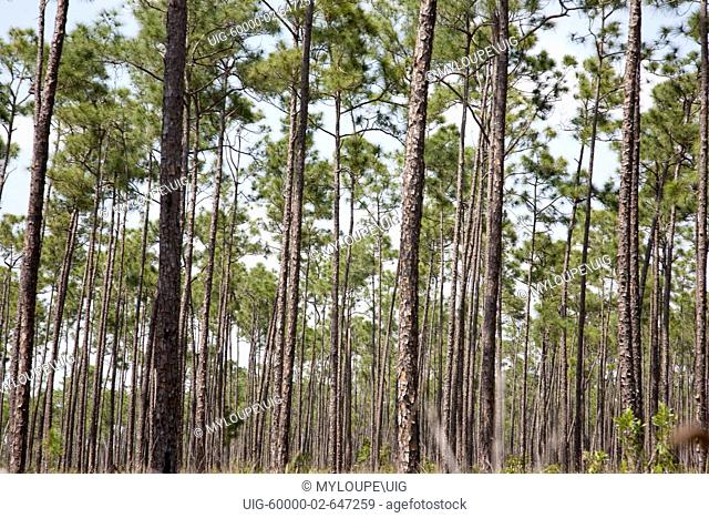 A forest of long pine trees is aptly named Long Pine Key. Long Pine Key lies near the eastern edge of the Everglades National Park and is accessed through the...