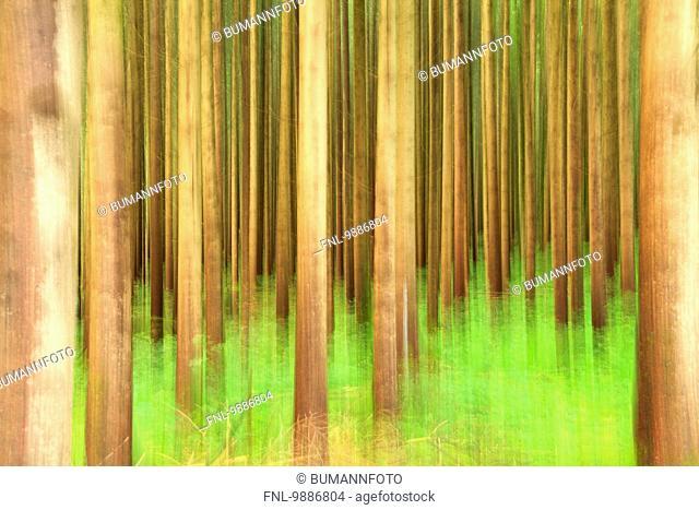 Trees in forest, Schwangau, Allgaeu, Bavaria, Germany, Europe