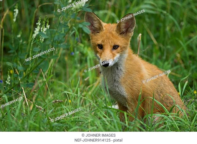 Sweden, Scandinavia, Oland, Red fox sitting in grass, close-up