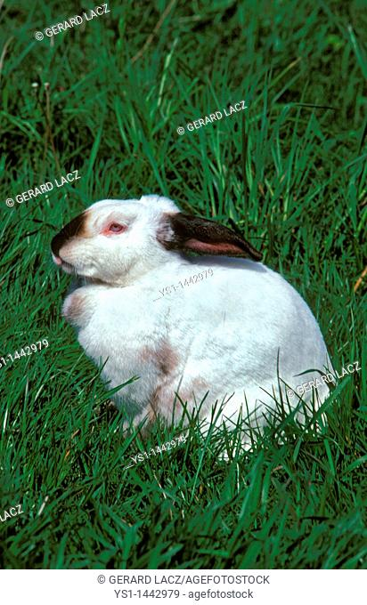 CALIFORNIAN RABBIT, BREED FROM UNITED STATES