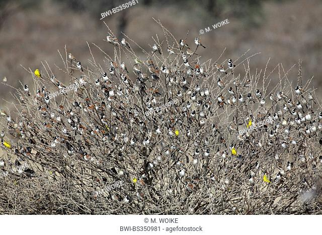 Cape sparrow (Passer melanurus), great flock of cape sparrows and yellow canaries sitting on a thorn bush, South Africa, Kgalagadi Transfrontier National Park