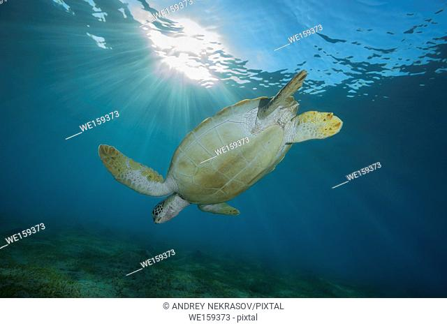 green sea turtle (Chelonia mydas) dives on the seabed with sea grass