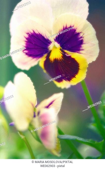 Pansies. Viola x wittrockiana. June 2007, Maryland, USA