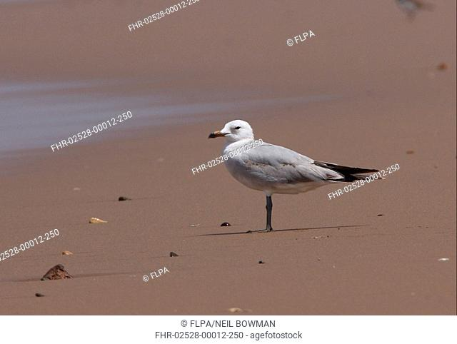 Audouin's Gull Larus audouinii immature, second summer plumage, standing on sandy beach, Souss-Massa, Morocco, may