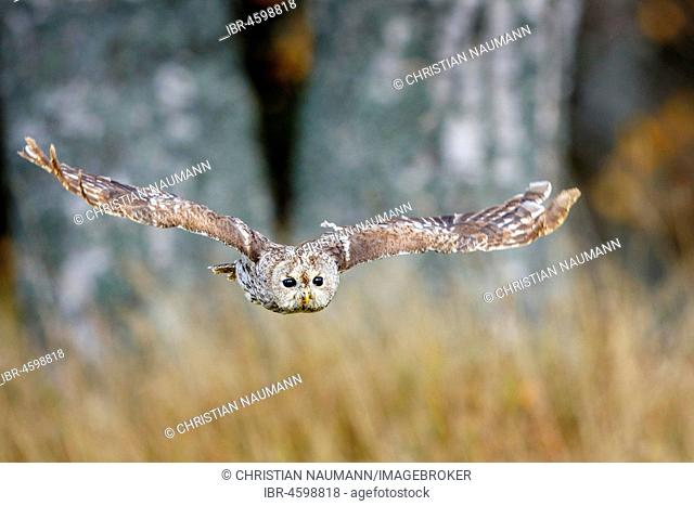 Tawny owl (Strix aluco) in flight, aerial photograph, Hesse, Germany
