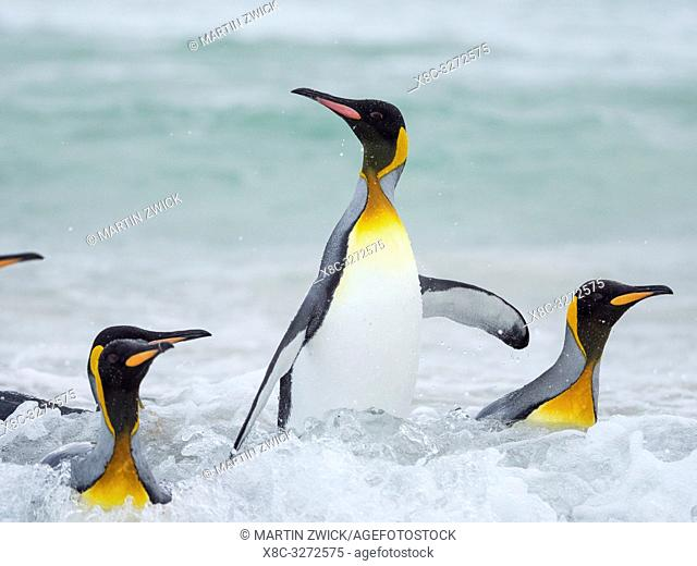 King Penguin (Aptenodytes patagonicus) on the Falkland Islands in the South Atlantic. South America, Falkland Islands, January