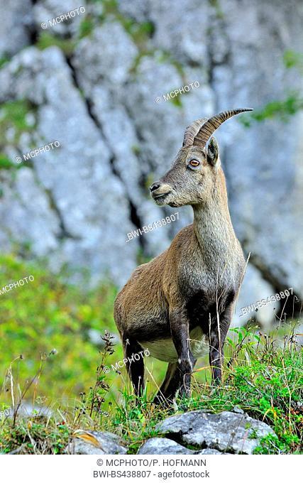 Alpine ibex (Capra ibex, Capra ibex ibex), female looking around, Germany