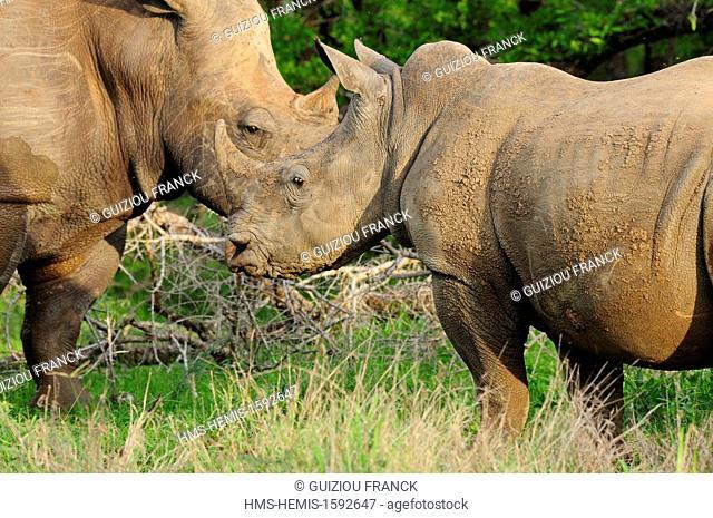 Swaziland, Lubombo district, Hlane Royal National Park, white rhinoceros or square-lipped rhinoceros (Ceratotherium simum)