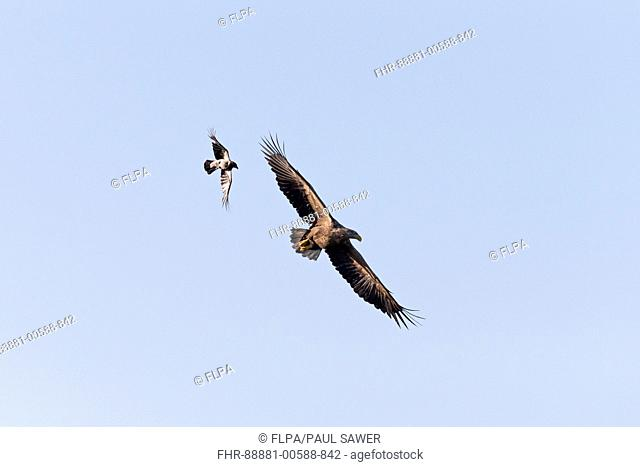 White-tailed eagle (Haliaeetus albicilla), adult, flying, being mobbed by Hooded Crow (Corvus cornix) adult, flying, Danube Delta, Romania, June