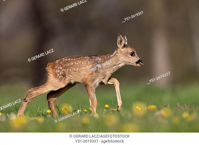 Roe Deer, capreolus capreolus, Fawn with Flowers, Normandy