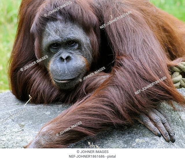 Orangutan looking at camera
