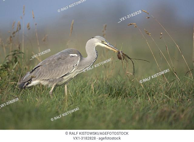 Grey Heron ( Ardea cinerea ) walking through a meadow, with rodent / mouse in its beak, feeding on prey, successful hunter, wildlife, Europe