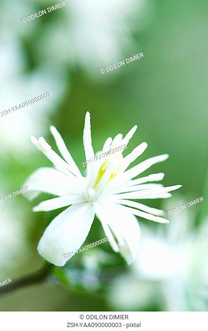 Wild clematis Clematis virginiana
