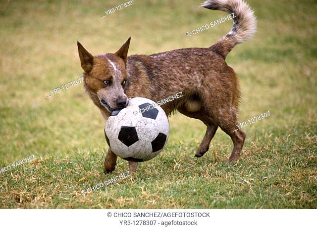 A dog carries a soccer ball by mouth in Mexico City, Mexico
