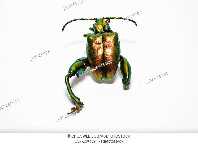 Dead metallic beetle taken at home studio, Kuching, Sarawak, Malaysia