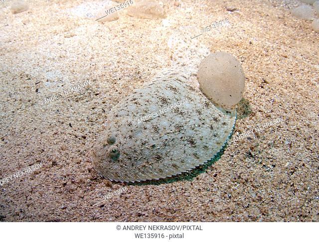 European flounder (Platichthys flesus), Black Sea, Crimea, Ukraine, Eastern Europe